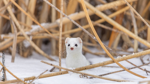 Fotografia Ermine with white coat in the snow with reeds in the background