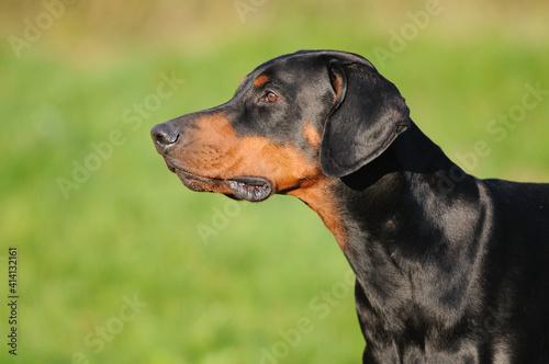 Foto doberman dog portrait Dobermann