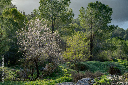 A Young Almond Tree in a Pine Forest Fototapet