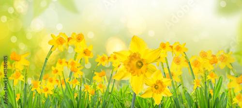 Fotografia Yellow daffodils in spring background on bokeh blurred green,fresh landscape