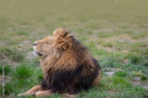 Fotografia Large male lion with a thick bushy mane around his head sleepy in the sun