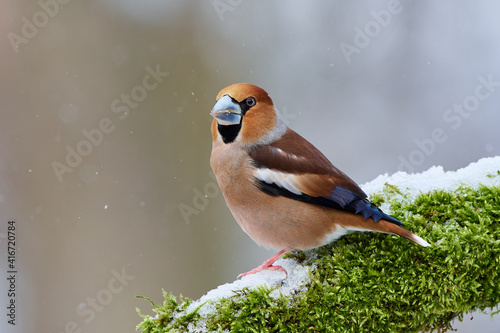 Fotografia Coccothraustes coccothraustes, Hawfinch, wildlife from danube wetland forest, Sl