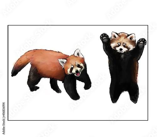 Obraz na płótnie Two red panda ,white background