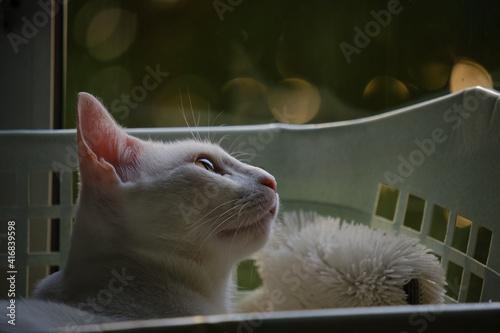 фотография Floki the cute white cat