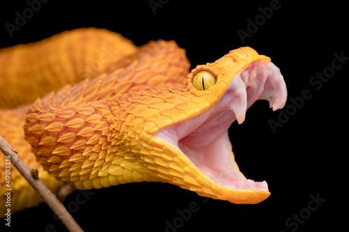 Photo The fangs of a venomous bush viper snake