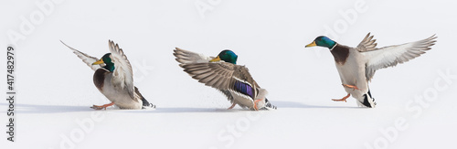 Carta da parati Mallards in flight in Canadian winter