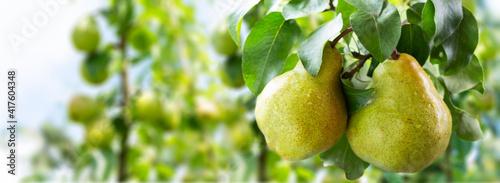 Fotografia Pear tree. Ripe pears on a tree