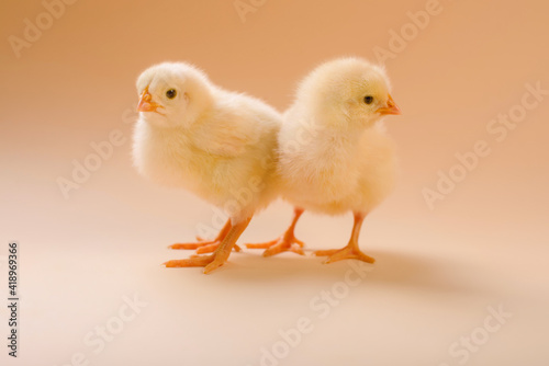 Image of two newborn fluffy fledgling chicken. Fototapete