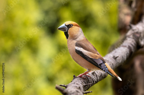 Obraz na płótnie Hawfinch, Coccothraustes coccothraustes, is a passerine bird in the finch family Fringillidae