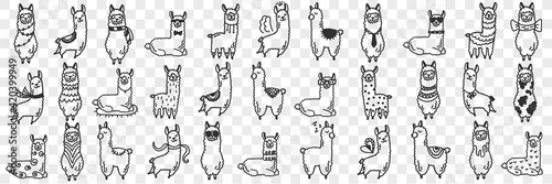 Fototapeta premium Funny alpacas animals doodle set. Collection of hand drawn various funny cute alpaca animals in different poses enjoying life isolated on transparent background