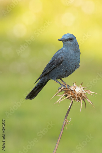 Fototapeta Male Blue rock thrush with rutting plumage in his breeding territory at his favo