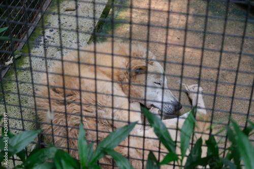 Valokuvatapetti sleeping wolf in cage in zoo