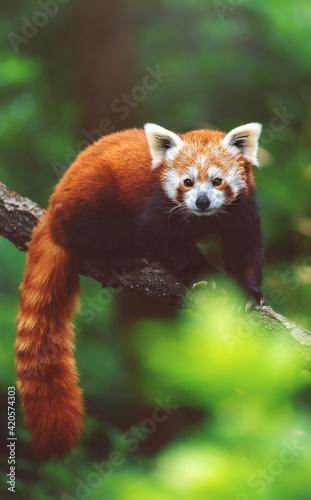Obraz na płótnie red panda in tree