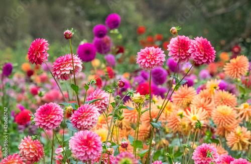 Canvas Print USA, Oregon, Canby, Swam Island Dahlias, Dahlia flower garden in full color