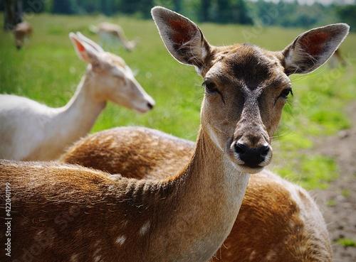 Vászonkép Close-up Of Deer On Field