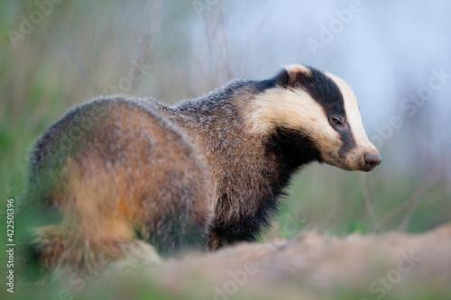 Obraz na płótnie borsuk badger