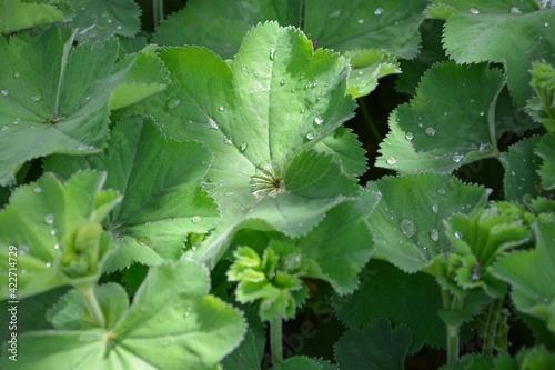 Fotografia Alchemilla mollis or lady's mantle in the garden after rain close-up