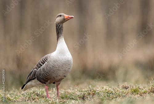 Fotografia Greylag goose (Anser anser) close up