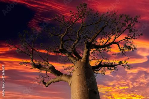 Slika na platnu Beautiful Baobab trees at sunset at the avenue of the baobabs in Madagascar