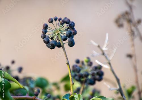 A cluster of Ivy berries in winter Fototapeta