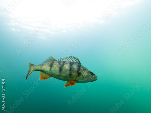 Big perch swimming in turquoise clear water