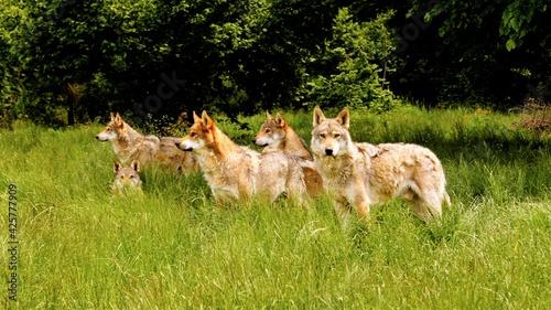 Photo Italian Wolves