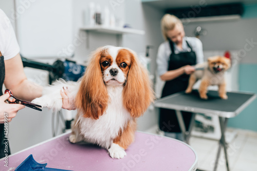 Fototapeta Cavalier King Charles Spaniel and Pomeranian dog at grooming salon