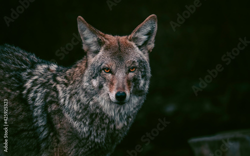 Canvas Print Portrait of coyote staring with orange eyes