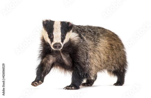 Fotografía European badger, six months old, walking in front