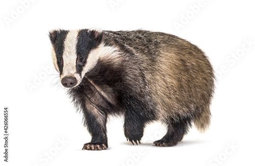 Leinwand Poster European badger walking towards the camera, six months old, isolated