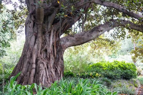 Obraz na plátně Ficus macrophylla, Australian banyan or Moreton Bay Fig in Royal National Park i