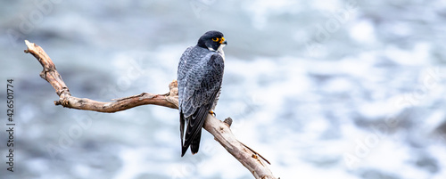 Peregrine falcon perched on a cliffside branch in Southern California