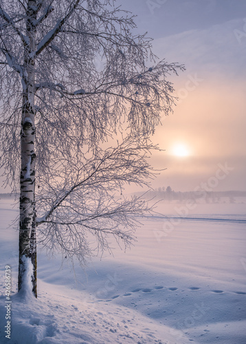 Fototapeta Scenic winter landscape with lonely scow covered tree and sunrise at morning time in Finland