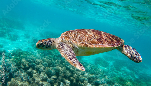 Fotografie, Obraz Green sea turtle