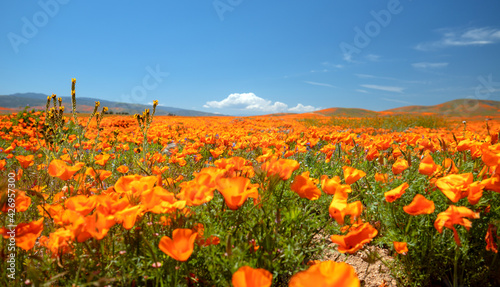 Photo California Golden Poppy field during super bloom in the southern California high