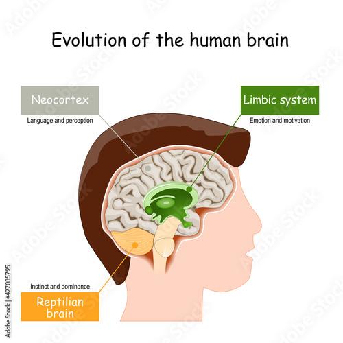 Slika na platnu Brain Evolution from reptilian brain, to limbic system and neocortex