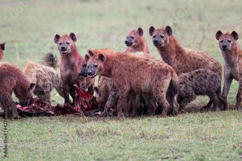 Fotografie, Tablou Closeup shot of hyenas in the field