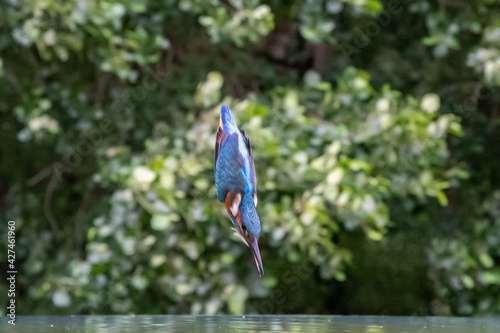 Canvas Print A kingfisher (Alcedo atthis) diving into water