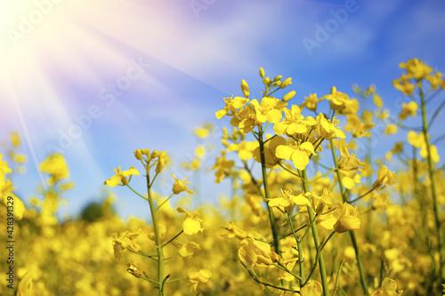 Stampa su Tela Beautiful mustard flower in sunlight. Yellow mustard field