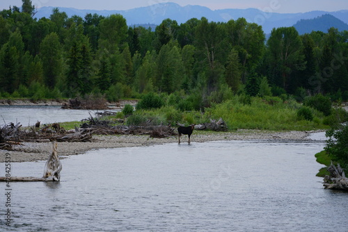 Canvastavla View of a wild female moose cow and her two calves on the Snake River in Grand T