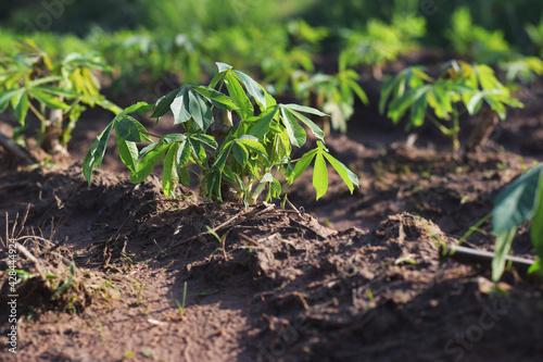 Slika na platnu cassava plantation in rural farm of Thailand. Cassava fields.