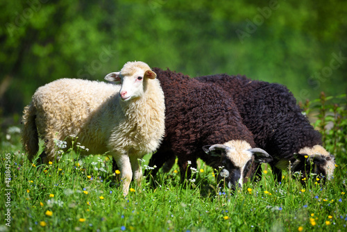 Sheeps in a meadow on green grass. Sunny summer day Fototapet