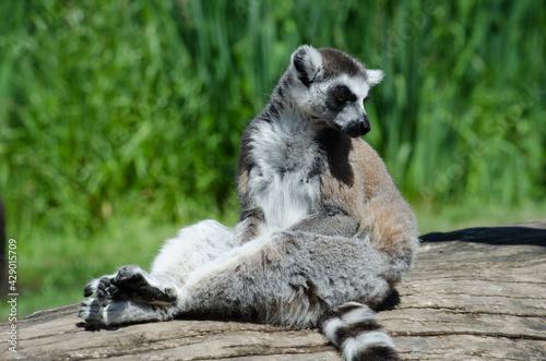 Wallpaper Mural ring-tailed lemur (lemur catta)