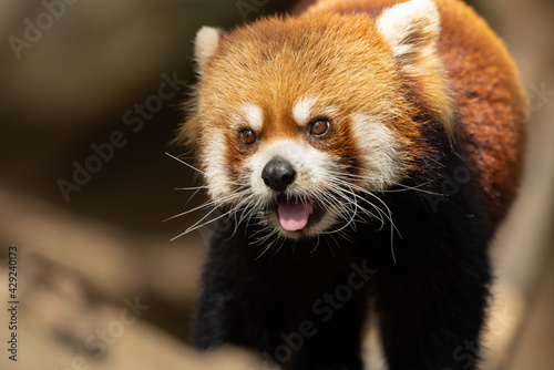 Fotografia The red panda lives in the mountains from southwest China to the Himalayas
