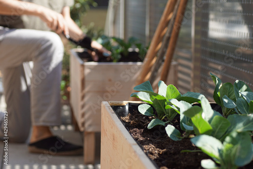 Fotografering Close up of vegetable plants growing on a balcony with a young man doing garden