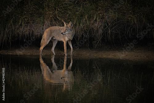 Valokuva Coyote hunting at sunrise