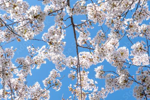 Foto Cherry tree blossom in Toronto, Canada