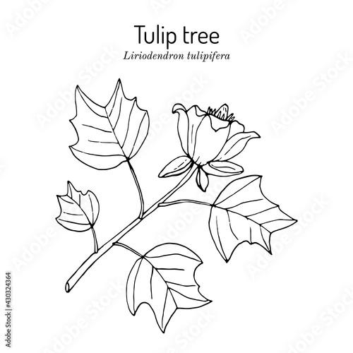 American tuliptree, or tulip poplar liriodendron tulipifera , state tree of Kent Tapéta, Fotótapéta
