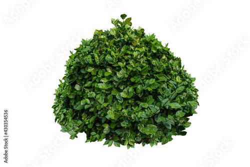 Fotografia, Obraz Green bush isolated on white background..