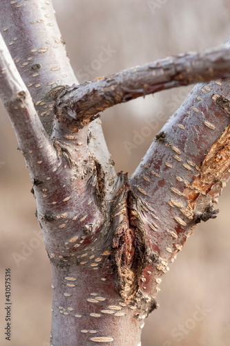 A vertically damaged cherry tree trunk with protruding branches Fototapeta